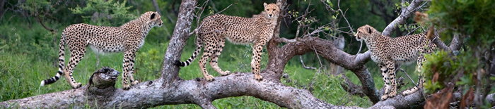 Cheetah,sighting,game drives,Amakhosi Safari Lodge,Amakhosi Private Game Reserve,KwaZulu-Natal,Hluhluwe iMfolozi Reservations