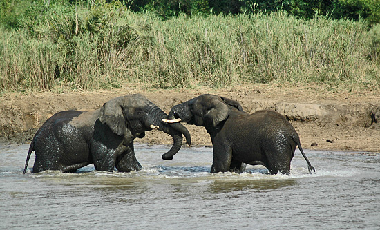 Elephants playing in the river - Hluhluwe iMfolozi Game Reserve Big 5 Nselweni Bush Camp Self Catering Accommodation Bookings KwaZulu-Natal South Africa