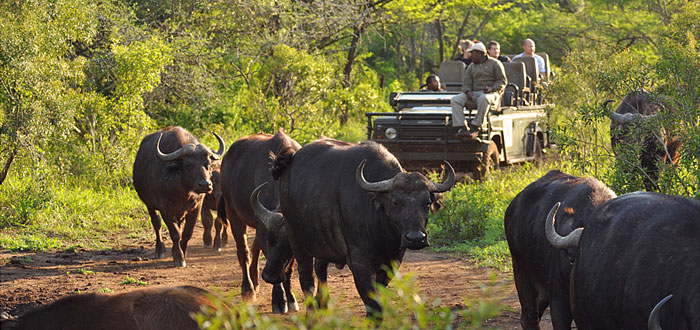 Buffalo Sighting Game Drives Thanda Tented Safari Camp Thanda Private Game Reserve KwaZulu-Natal Luxury Game Lodge
