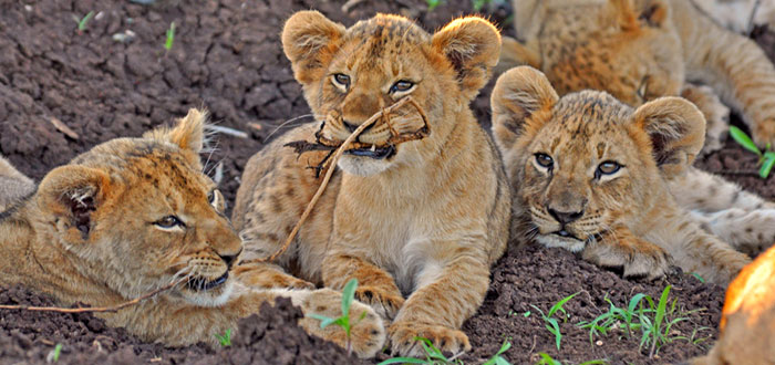 Lion Cubs Sighting playing Game Drives Thanda Tented Safari Camp Thanda Private Game Reserve KwaZulu-Natal Luxury Game Lodge