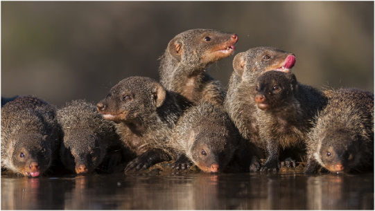 Banded Mongooses @ Bhejane Hide - Zimanga Private Game Reserve