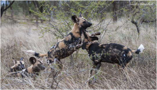 Wild dog - Zimanga Private Game Reserve