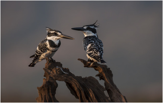 Pied Kingfishers - Zimanga Private Game Reserve