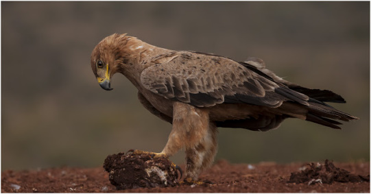 Tawny Eagle @ Scavengers Hill Hide - Zimanga Private Game Reserve