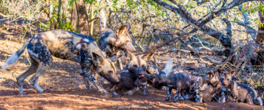 Wild Dog with pups - Zimanga Private Game Reserve