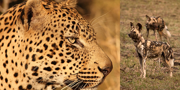 Leopard Wild Dog Big 5 Hluhluwe iMfolozi Reservations Manyoni Private Game Reserve Leopard Mountain Game Lodge Zululand Rhino Reserve