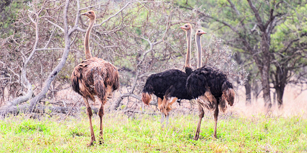Ostrich Manyoni Private Game Reserve Zululand Rhino Reserve Mavela Game Lodge Tented Camp