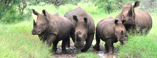 Rhino River Lodge Big 5 Game Sighting Manyoni Private Game Reserve Zululand Rhino Reserve KwaZulu-Natal South Africa
