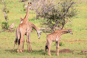 Giraffe Manyoni Private Game Reserve Zululand Rhino Reserve Big 5 KwaZulu-Natal South Africa